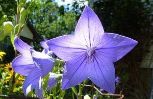 Balloon Flower
