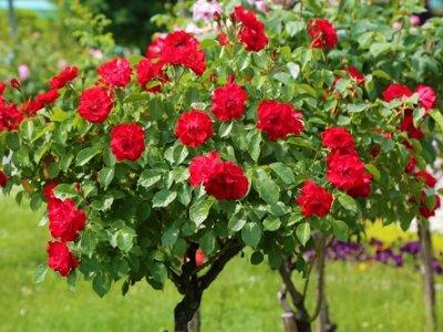 Rose tree